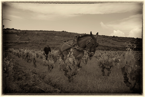Dos mulas en un viñedo de Laguardia