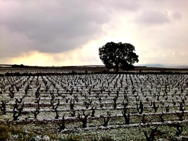 sobre la influencia del Cambio Climático en el viñedo