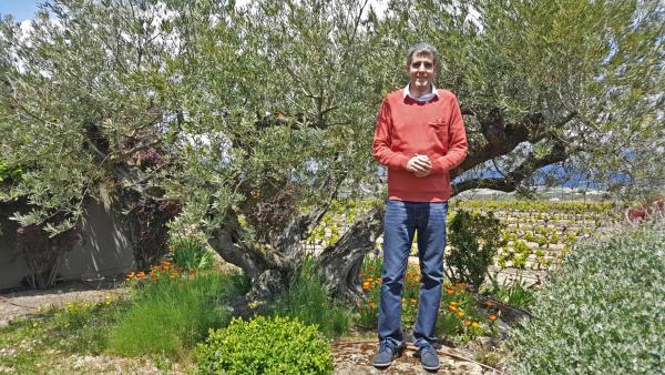 El olivo de Rioja Alavesa