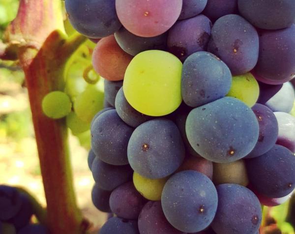Viticultor de Rioja Alavesa