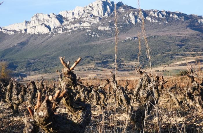 Cepa de Rioja Alavesa