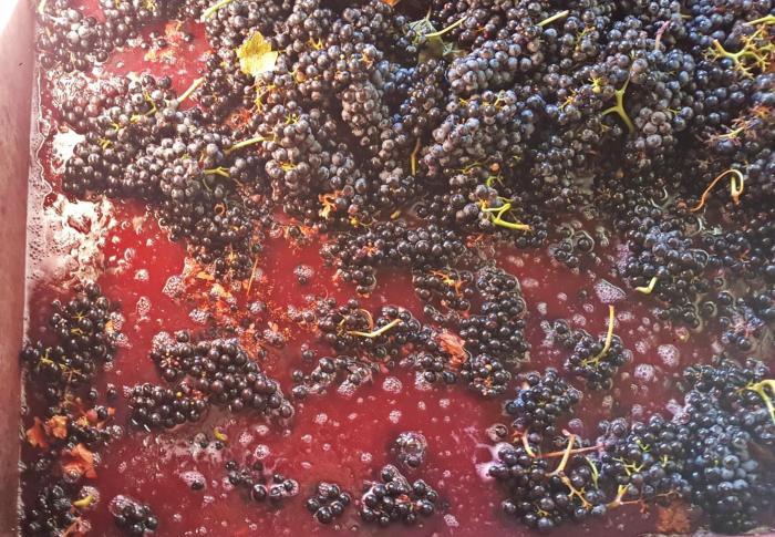 Uva-fermenta