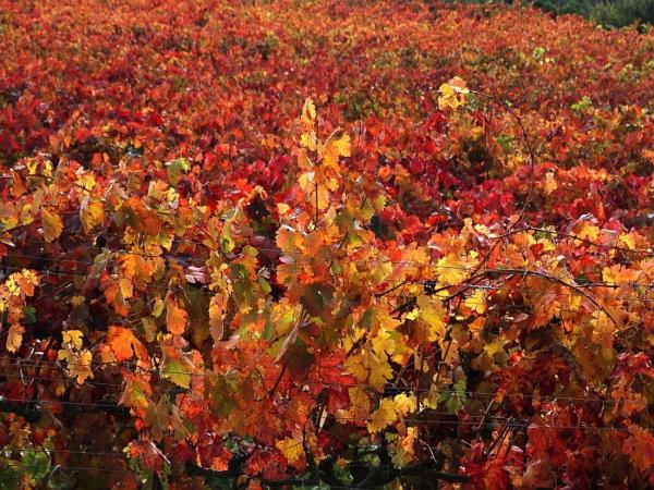 Viñedos de Rioja Alavesa