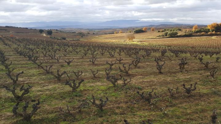 Poda en las viñas de Rioja Alavesa