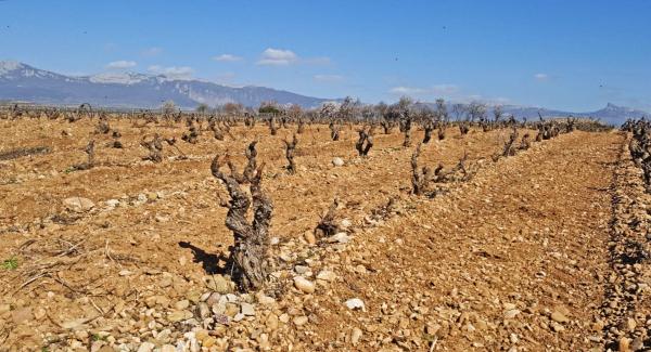 Cambio climático en la viña