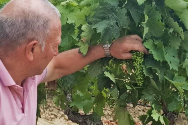 Mildiu en Rioja Alavesa