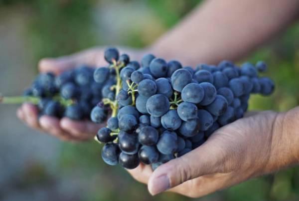 MIRA-uvas